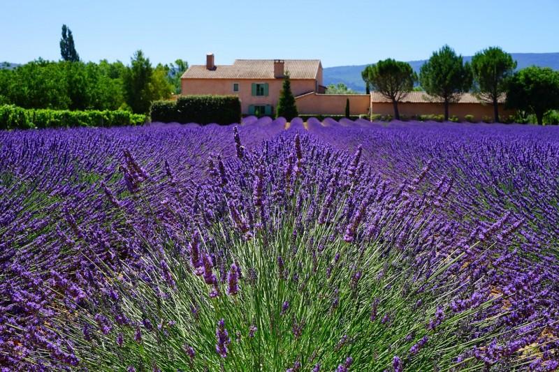 lavender-1595478_1280