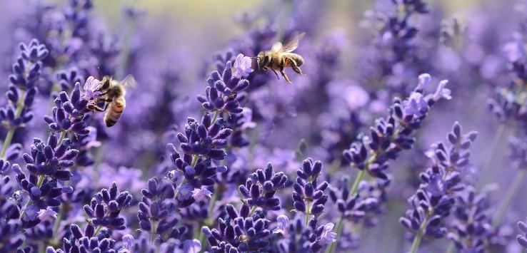 lavender-1537694_1280